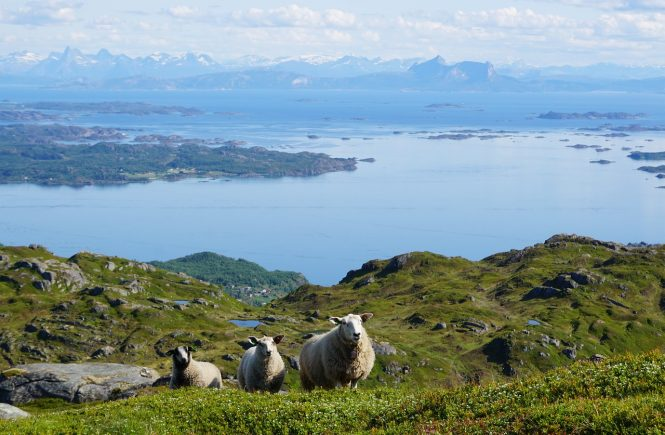 Sauer på beite i Norge, Sauer i naturen